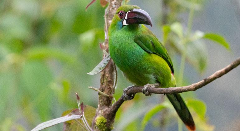 senckenberg.de | Der Blutbürzelarassari (Aulacorhynchus haematopygus) aus der Familie der Tukane zählt im Regenwald zu den großen fruchtfressenden Vögeln.