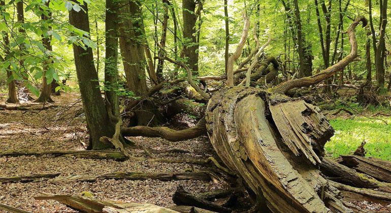 NABU warnt vor hohem Waldverlust durch Dürre und Trockenheit