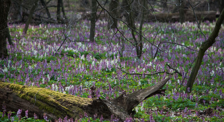 Plant diversity in European forests is declining