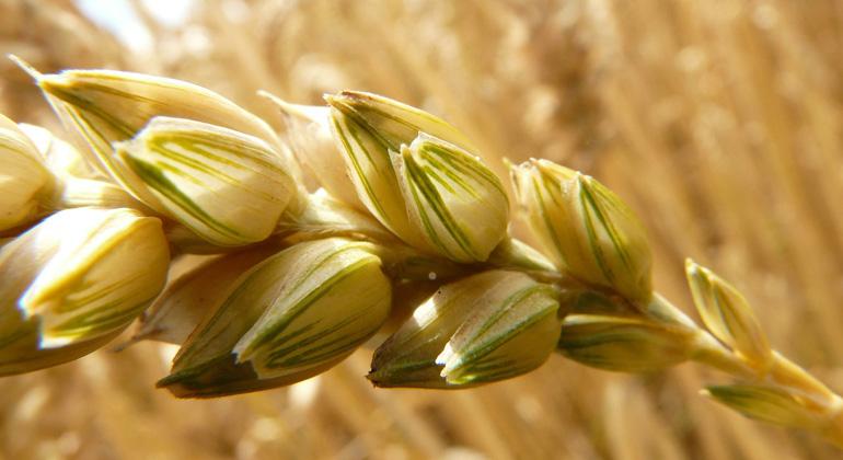 Weizen wird stressresistenter und gesünder