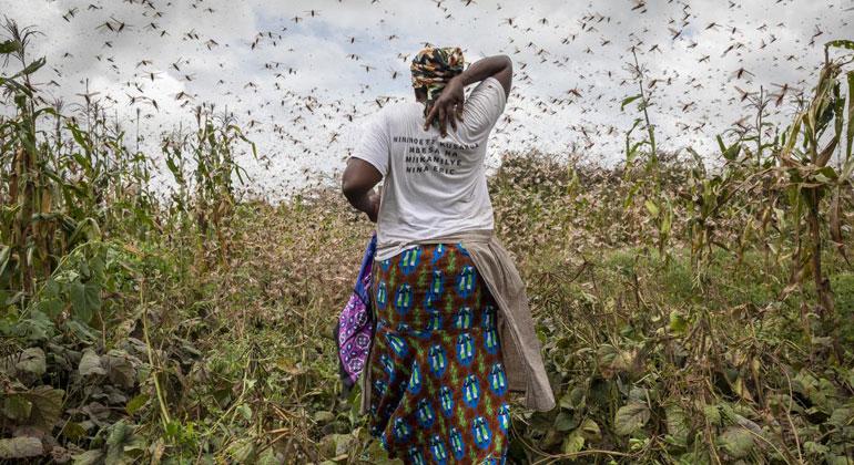 Neue Heuschreckenschwärme drohen Hungerkrise in Ostafrika zu verschärfen