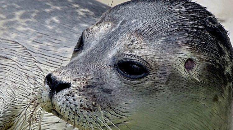 pixabay.com | Manfred Richter | Seehunde sind auf Schutzmaßnahmen angewiesen.