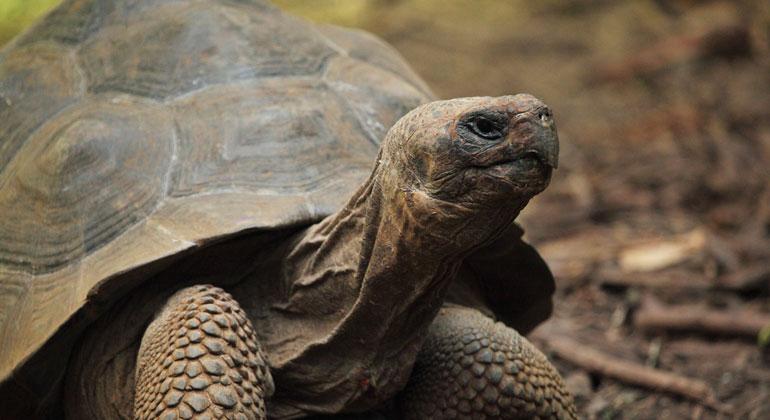 Jede zweite Schildkrötenart droht auszusterben