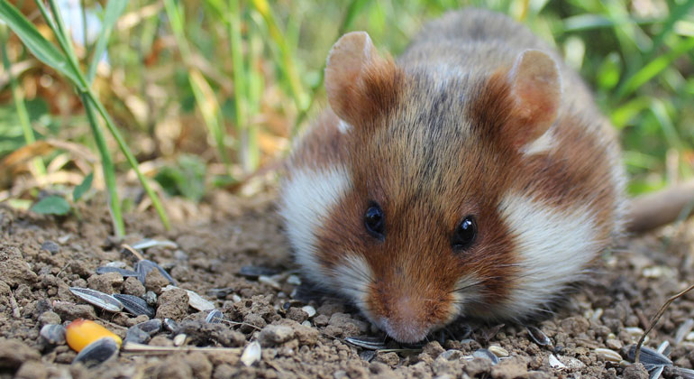 pixabay.com | SgH | European Hamster now Critically Endangered