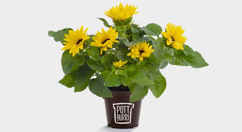 obs/Golden Compound/Timo Lutz | Neben 100%kompostierbaren Kaffeekapseln stellt Golden Compound aus dem Material SUN CIRCLE® auch Blumentöpfe her, die eingegraben werden können und sich mit der Zeit rückstandsfrei zersetzen. Die Töpfe der Marke POTTBURRI® basieren ebenfalls auf den Schalen von Sonnenblumenkernen und sind damit voll recyclingfähig und gartenkompostierbar.