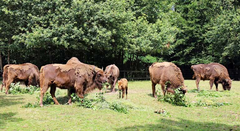 Kit.edu | Timo Deible, Zoo Karlsruhe | Zu Beginn des 20. Jahrhunderts waren Wisente fast ausgestorben. 2013 haben Artenschützer im Rothaargebirge wieder eine Herde angesiedelt.