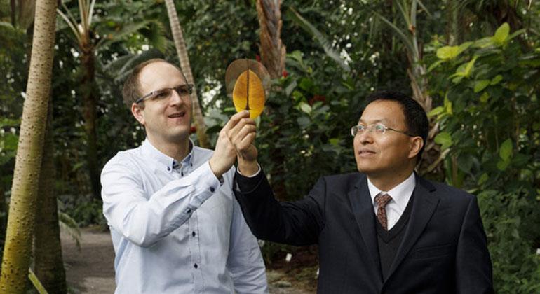 Sven Döring/ Leibniz-IPHT | Vorher, nachher: links das Magnolienblatt, rechts die Elektrode. Jonathan Plentz (links) und Guobin Jia bauten Elektroden aus Blättern der Purpur-Magnolie.