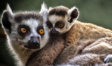 pixabay.com | Alexas_Fotos | 33 Lemurenarten sind vom Aussterben.
