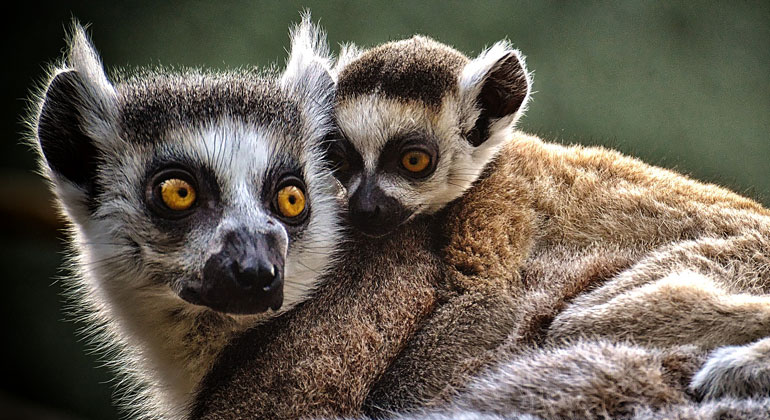 pixabay.com | Alexas_Fotos | Today's update shows that 33 lemur species are Critically Endangered, with 103 of the 107 surviving species threatened with extinction, mainly due to deforestation and hunting in Madagascar. Thirteen lemur species have been pushed to higher threat categories as a result of intensifying human pressures.