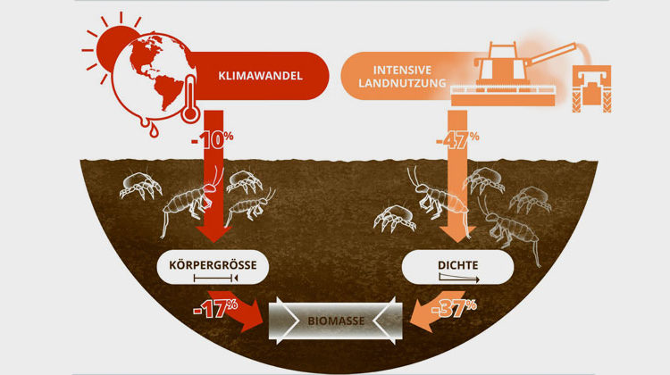 UFZ_Lisa Vogel | Climate change and land use reduce the biomass of soil animals. While changing climate reduces the body size of organisms, cultivation reduces their frequency.