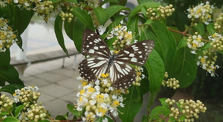 University of Oulu | oulu.fi | Die finnischen Forscher haben die Nanostrukturen der dunklen Farbnuancen von verschiedenen Schmetterlingsarten untersucht.