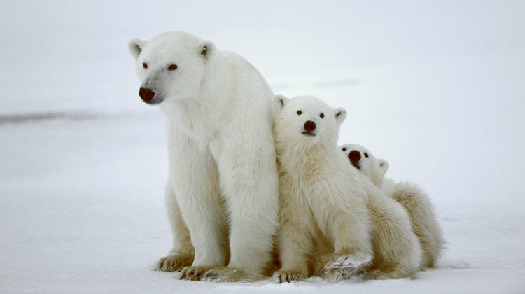 "bigstock | SURZ | In a report published today in Nature Climate Change, scientists calculate ""timelines of risk"" for individual polar bear populations, exploring two alternative futures based on different levels of greenhouse gases."