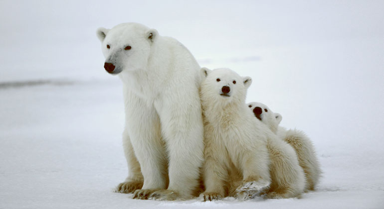 When Will Polar Bear Populations Likely Start Collapsing?