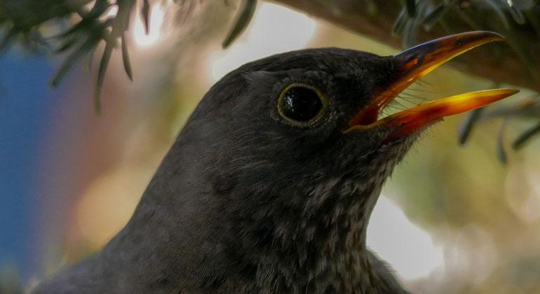 Warum verschwinden unsere Vögel?