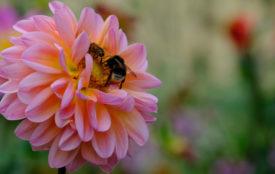 Universität Hohenheim | Manuel-Narjes | Der volkswirtschaftliche Nutzen der Bestäubungsarbeit von Tieren, v. a. von Insekten, beträgt im Mittel in Deutschland 3,8 Milliarden Euro pro Jahr, weltweit 1 Billion US-Dollar. Das ergibt eine neue Simulationsstudie von Wissenschaftlern der Universität Hohenheim.
