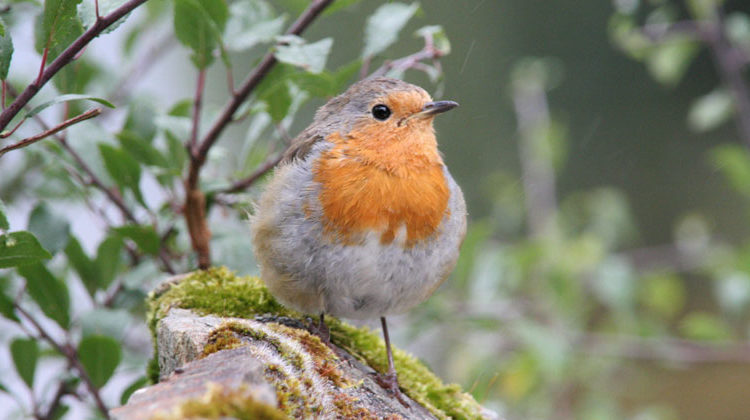 Senckenberg.de | Researchers have found that more bird species (pictured: a robin) in the vicinity increase the life contentment of Europeans at least as much as a comparable increase in income.