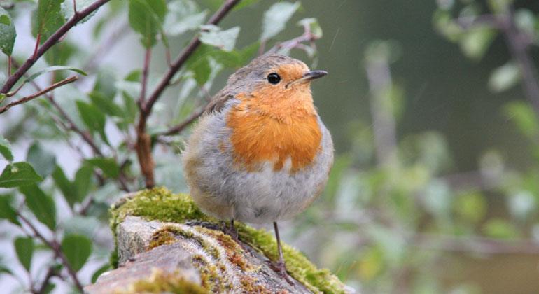 Senckenberg.de | Forscher*innen haben herausgefunden, dass zehn Prozent mehr Vogelarten (im Bild: Rotkehlchen) im Umfeld die Lebenszufriedenheit mindestens genauso stark steigern wie ein vergleichbarer Einkommenszuwachs.