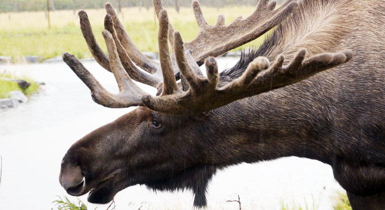Bigi Alt   Elch in Alaska