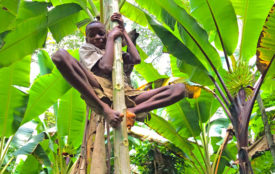 mpg.de | Sarah Pope | Ein BaYaka-Junge klettert auf einen Papayabaum, um Früchte zu ernten