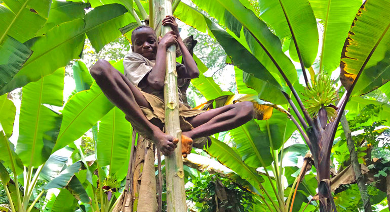 mpg.de | Sarah Pope | A BaYaka boy climbing a papaya tree foraging for fruit.