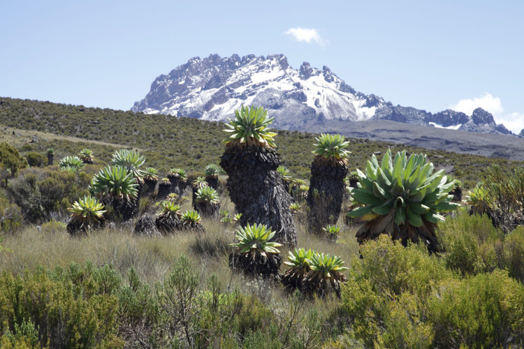 senckenberg.de | Andreas Hemp | Kilimandscharo Alpine Zone