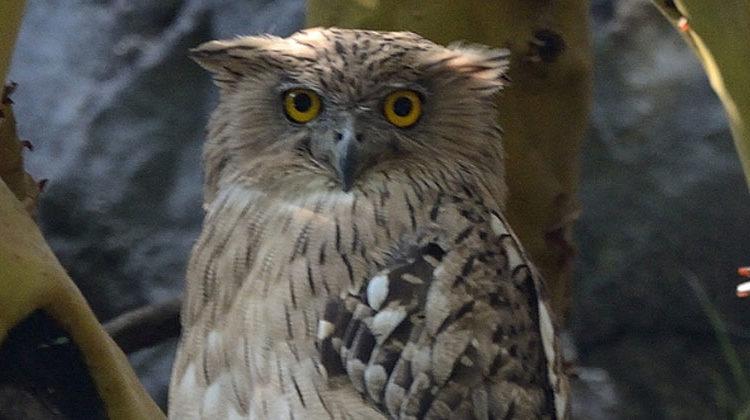 BirdLife International | Wellenbrust-Fischuhu